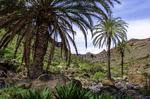 Tres palmeras canarias en primer plano sirven de referencia para mostrar una vista parcial del sureño barranco de Las Palmas después de las lluvias.